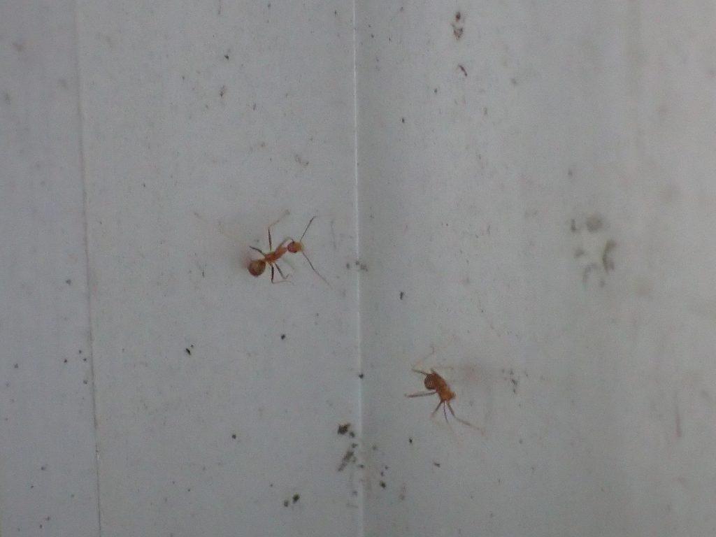 窓から侵入してくる赤い蟻