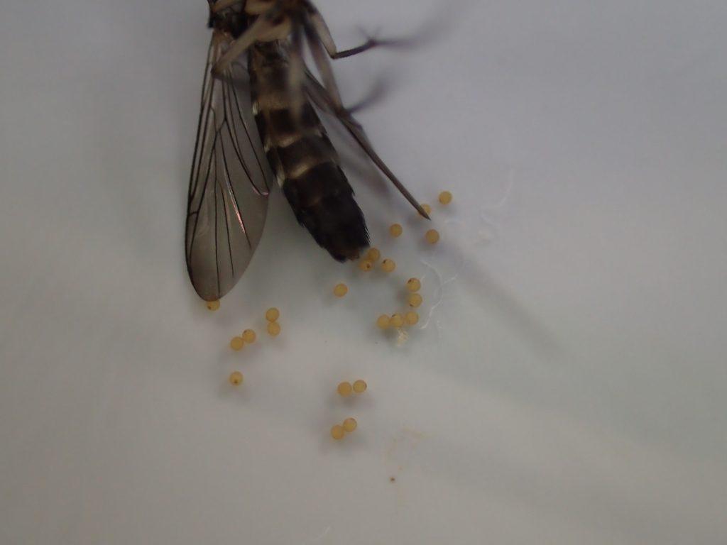 体は動かないが黄色い卵をポコポコと産卵し続ける