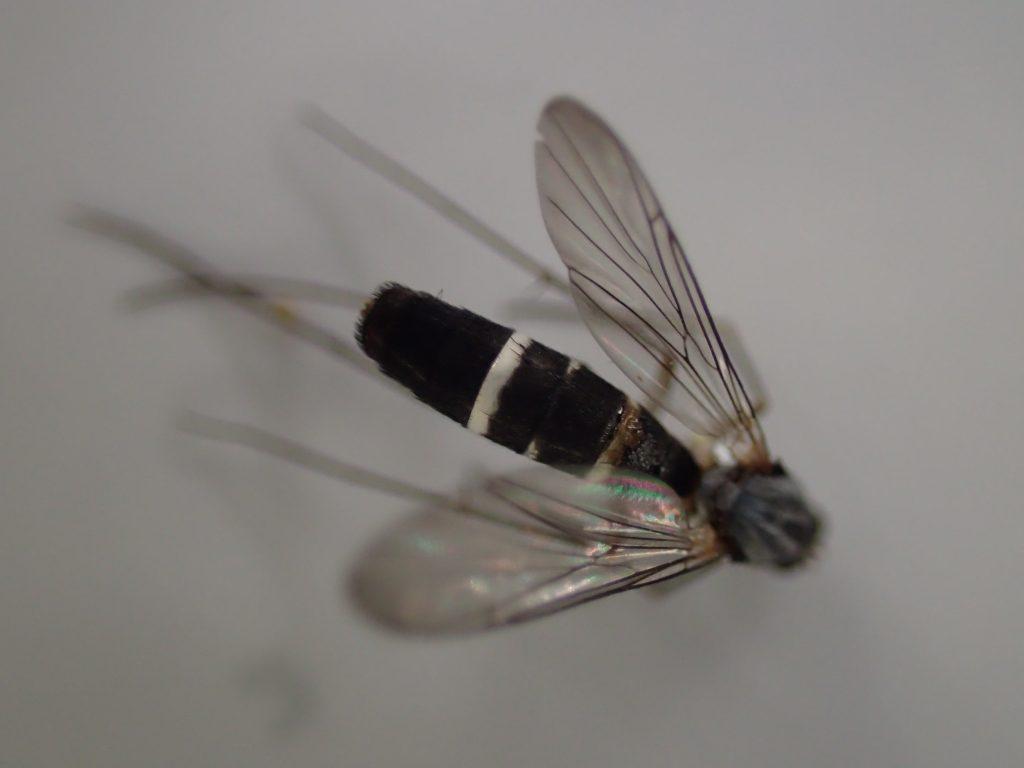 羽や腹部の白と黒の縞々模様は害虫ヒトスジシマカ(蚊)にソックリ