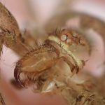 ゴキブリが恐れる最強の天敵アシダカグモ(蜘蛛)の脱皮は牙も目(レンズ)も体毛も全てを脱ぎ捨てる!