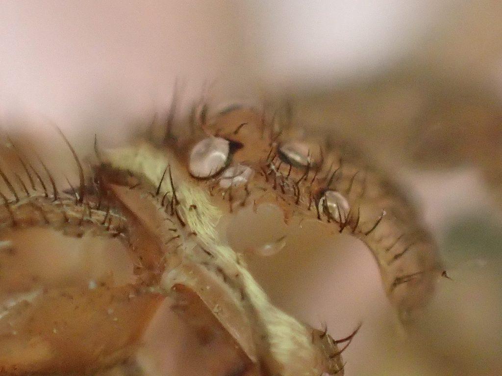 """ゴキブリを食べる益虫の蜘蛛""""アシダカグモ""""が脱皮した殻"""