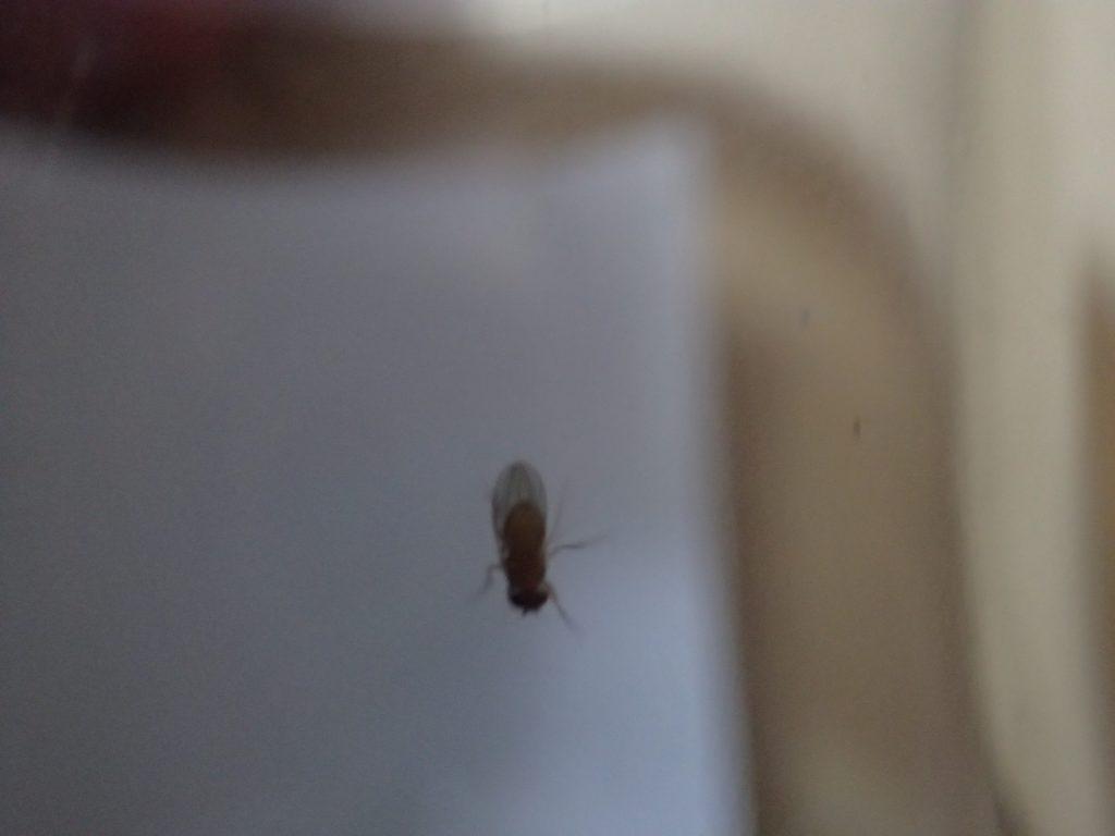 蟻を襲わないアリグモがショウジョウバエなら食べるか与えてみた