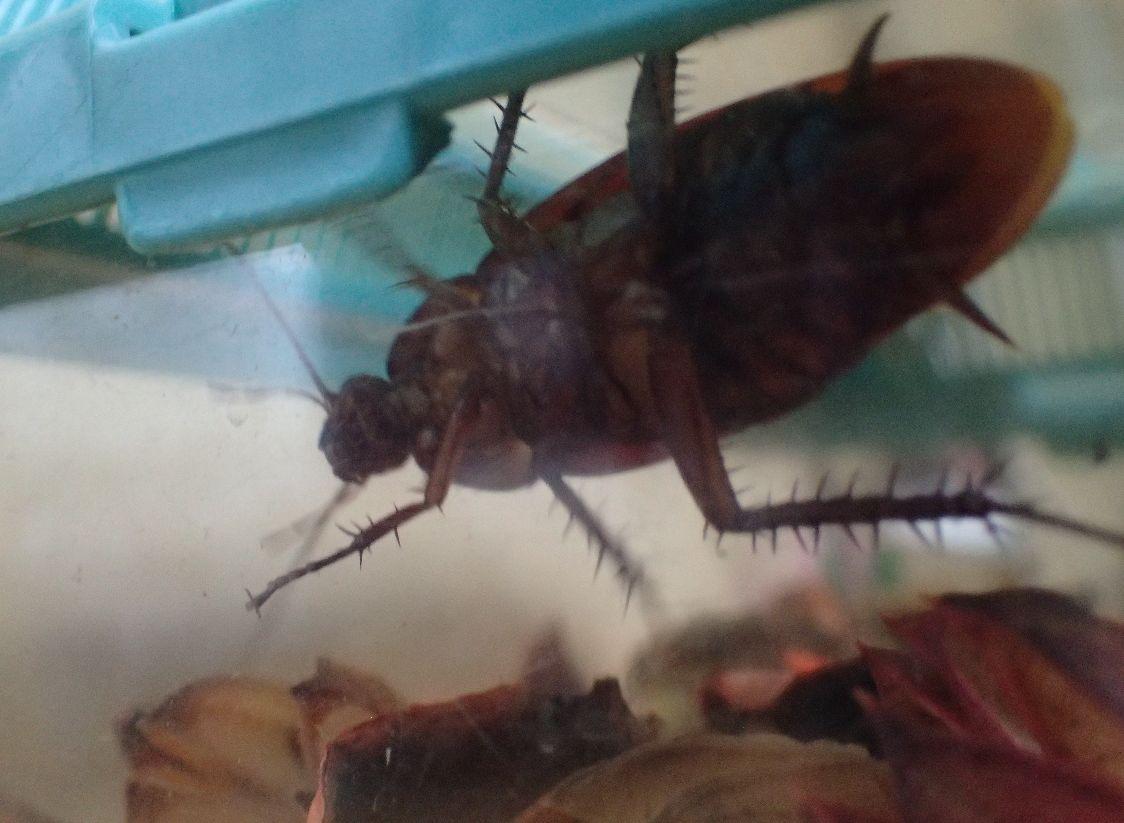 ポプリを敷き詰めた虫カゴへゴキブリを移してみた