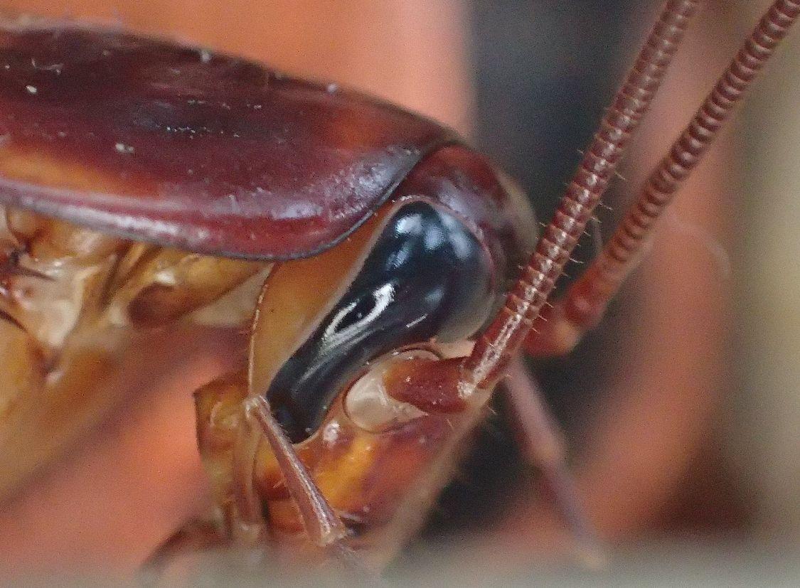 ポプリの上を歩くゴキブリ