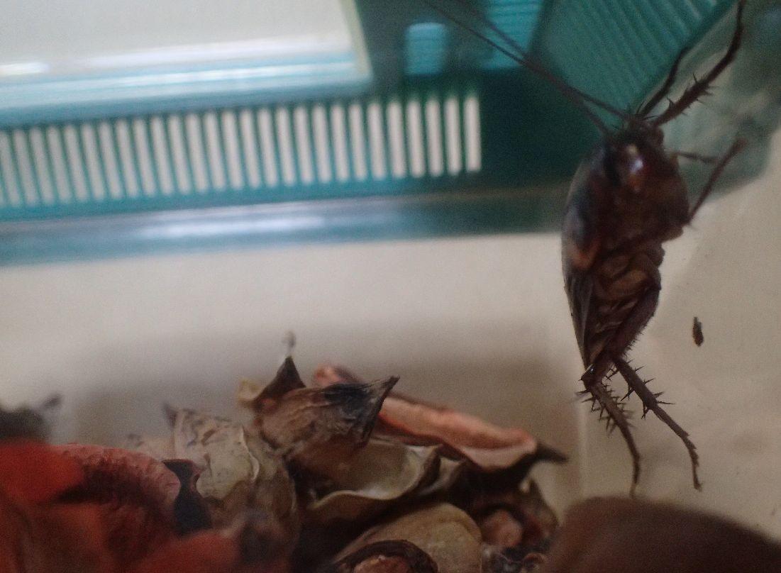 ポプリには触れず、降りずに壁を歩き回るゴキブリ