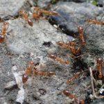 赤い蟻(アシナガキアリ)が氷に群がる不思議な行動を発見!群がる目的は水分か冷たさか謎は深まるばかり。