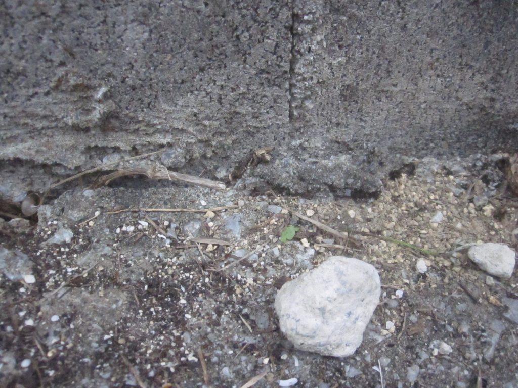なにやら赤い蟻(アシナガキアリ)が集まっている場所がある