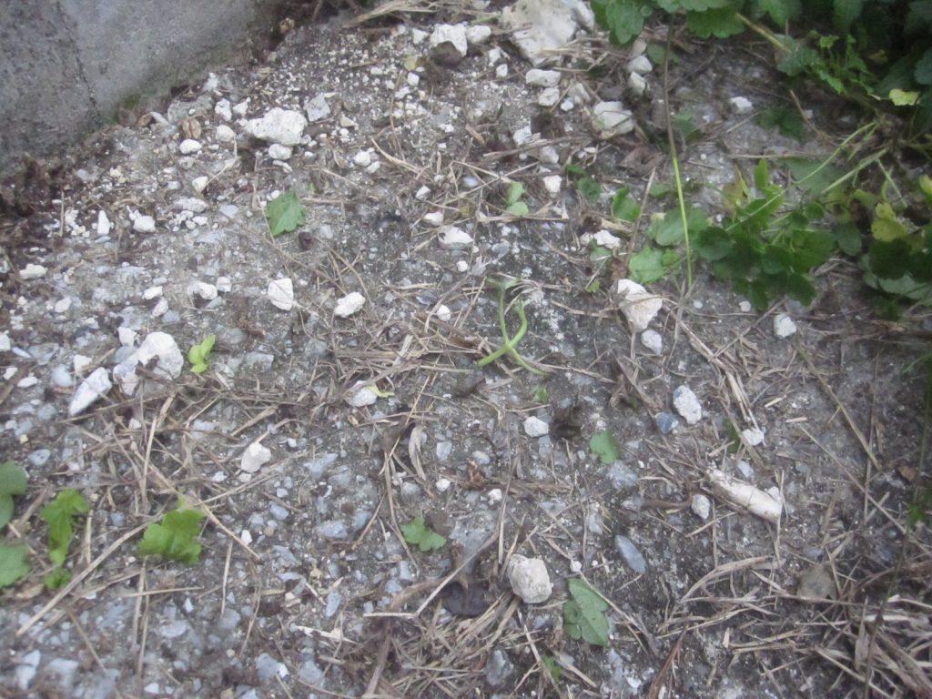 家の中にも侵入する厄介な虫アシナガキアリの大群