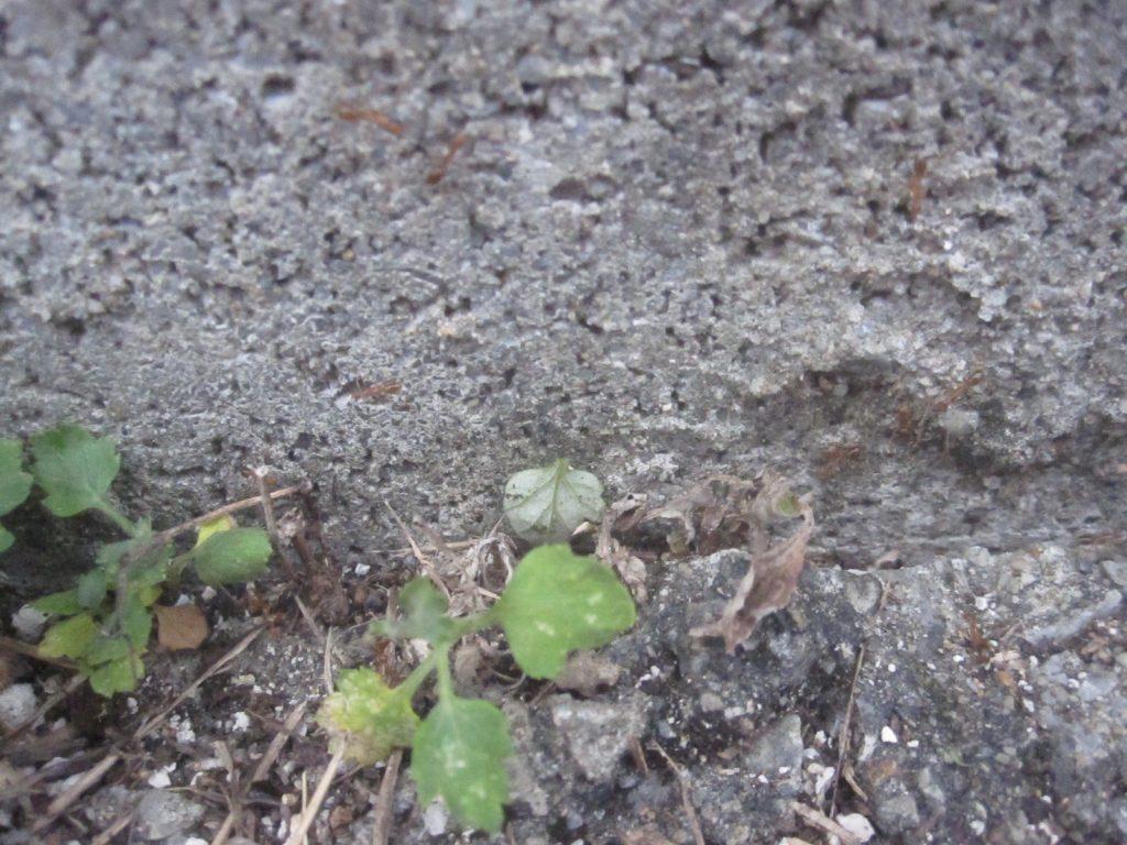 アシナガキアリの大群が食料となる虫の死骸を運んでいるようにも見える