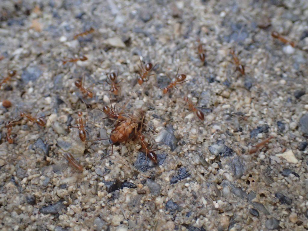 大群で女王蟻を運ぶアシナガキアリの兵隊アリ