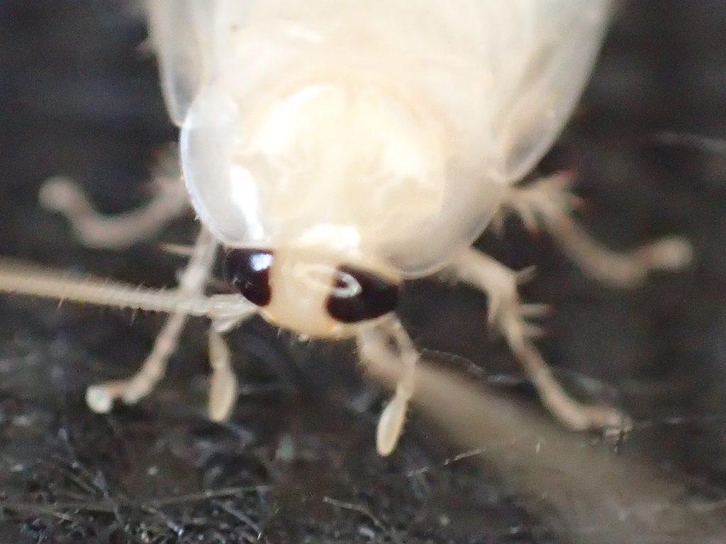 触覚をまるで鞭のようにしならせ激しく動かす白いチャバネゴキブリ