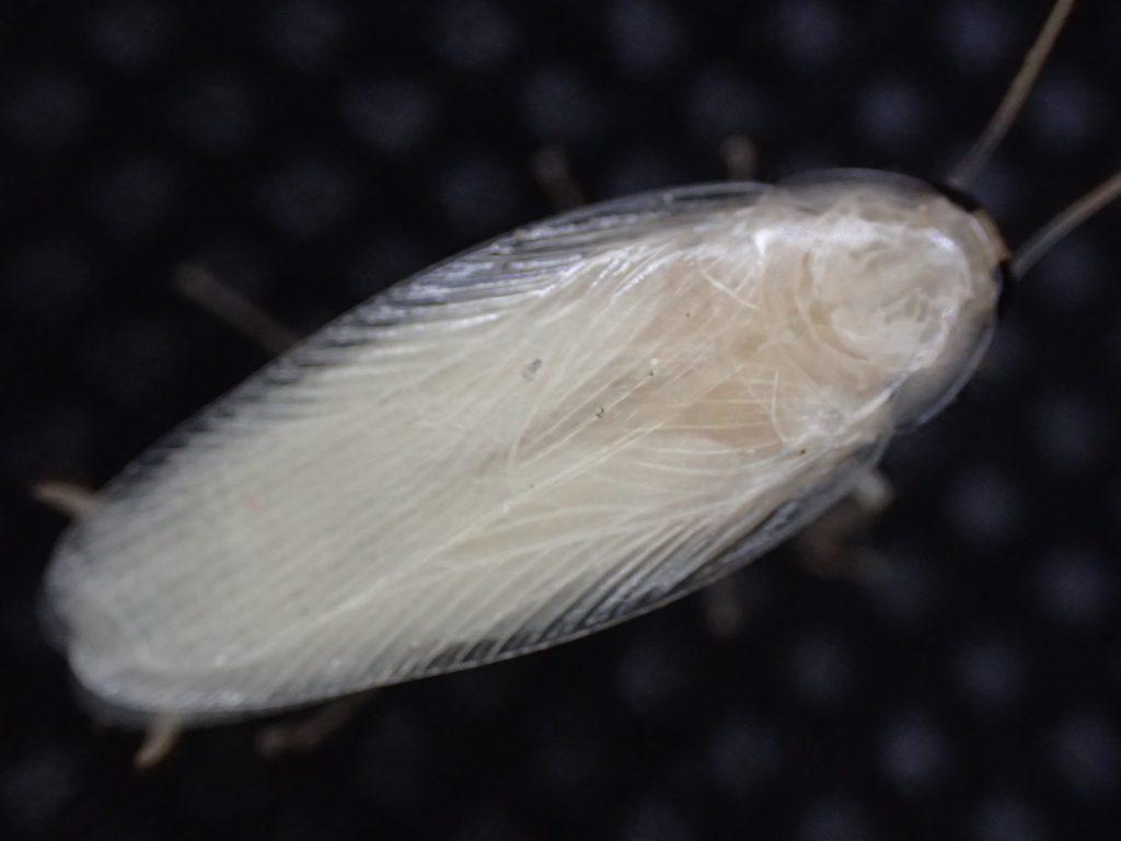 雪みたいに真っ白なゴキブリを上から撮影した写真・画像