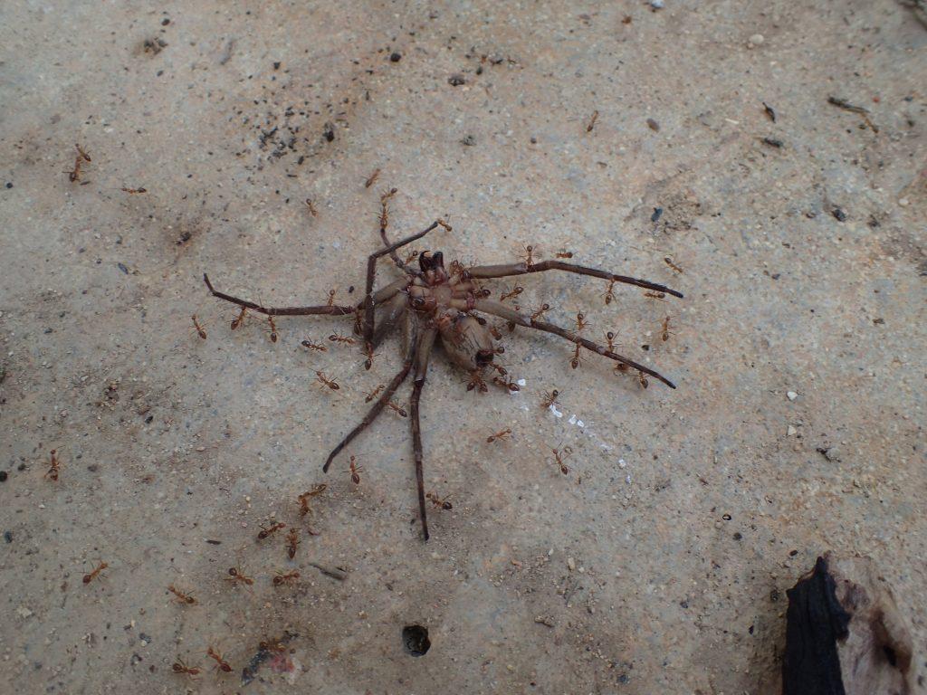 """仰向けになって死んでいる益虫の蜘蛛""""アシダカグモ""""に赤い蟻が群がっていた"""