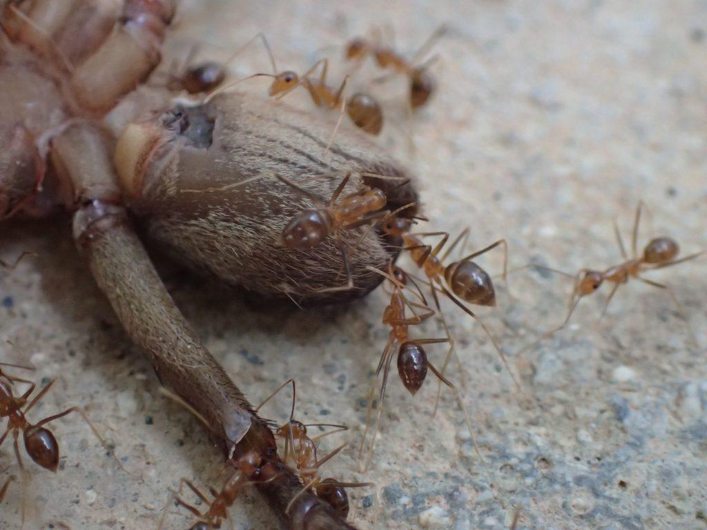 腹部の先端(お尻?肛門?)から食い進むアシナガキアリ