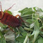 ゴキブリの驚異的な生命力に驚愕!食料と水がない環境で約1ヶ月も生き続けて死なない害虫の王様よ、香草ハーブのベッドでお眠りなさい(笑)