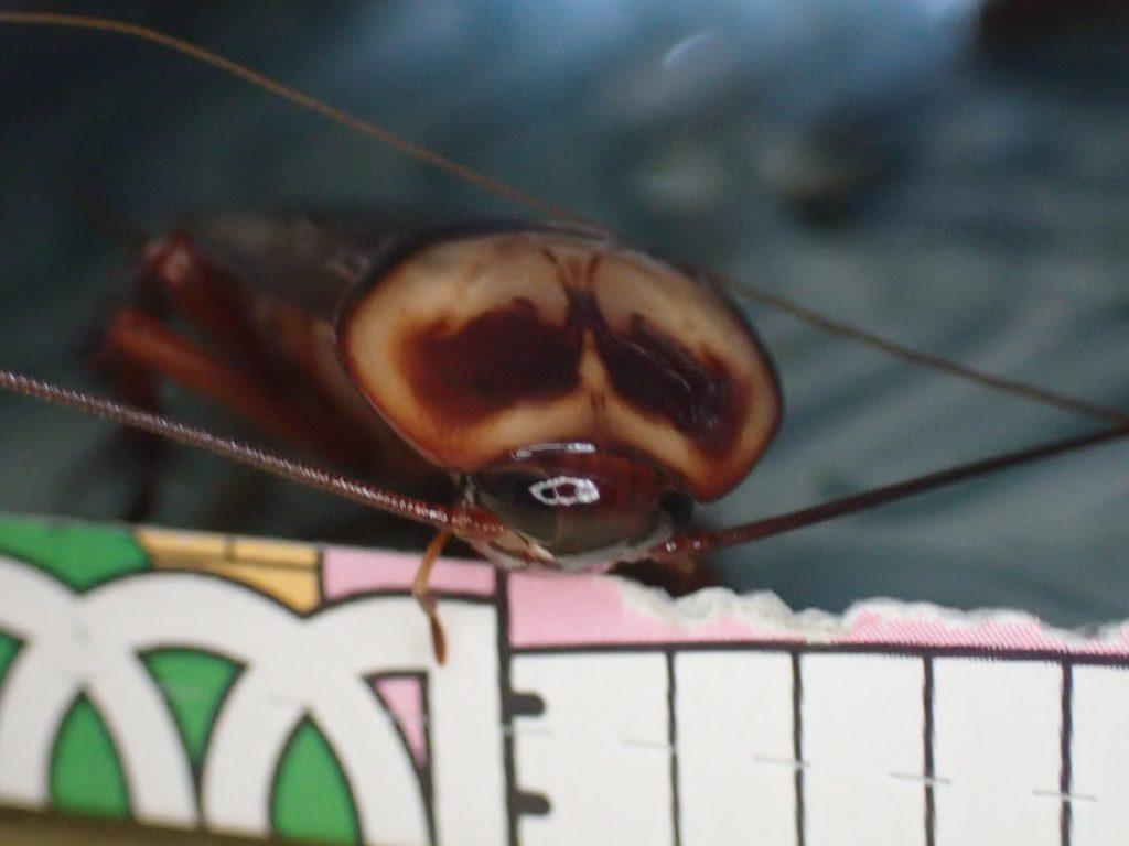 アース製薬 ごきぶりホイホイの窓から手を振るように触覚を動かしている虫を発見!