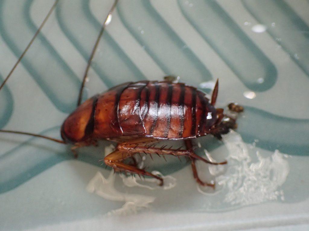 幼齢のワモンゴキブリもニオイに惹かれて粘着シートの餌食になっていた