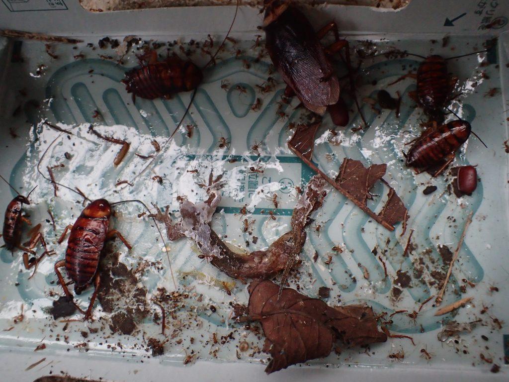 ごきぶりホイホイは誘引剤でヤモリを捕らえ、ヤモリの腐敗臭でゴキブリを捕らえるのだ!
