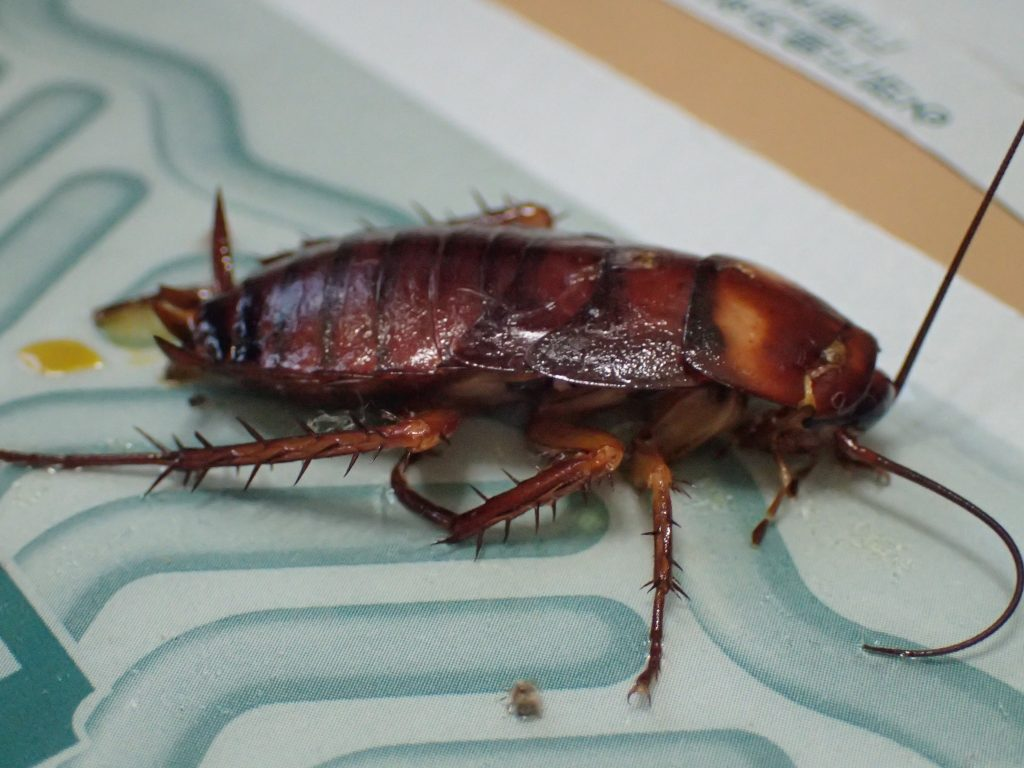 害虫ワモンゴキブリの幼虫を粘着シートに誘き出して罠に掛けた