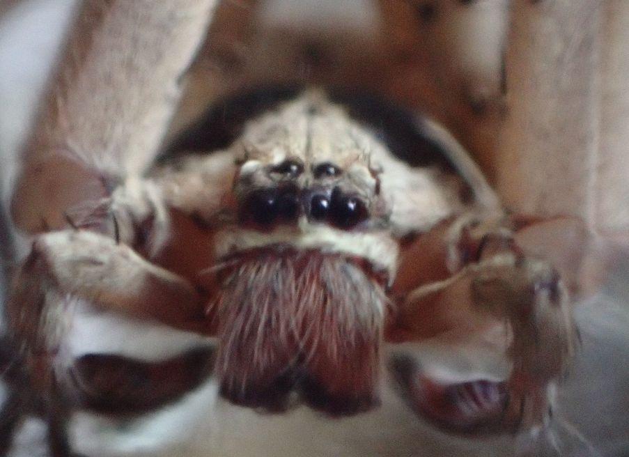 ゴキブリの最強の天敵である軍曹ことアシダカグモの接写画像