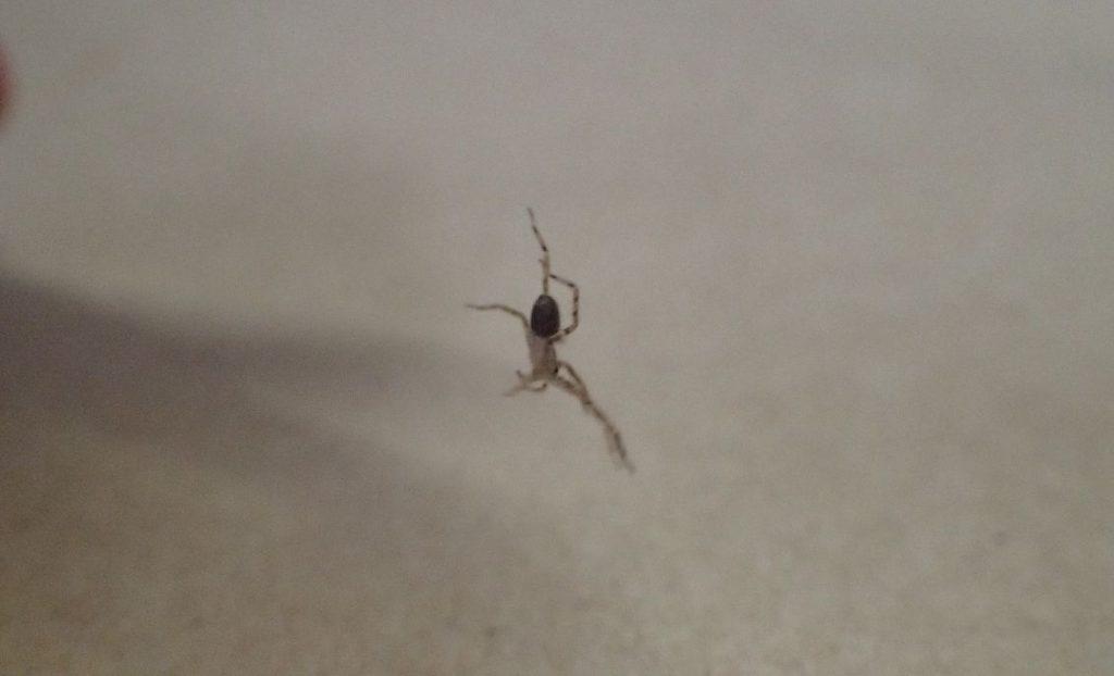 お尻から糸を出して宙吊り状態になる幼齢のアシダカグモ
