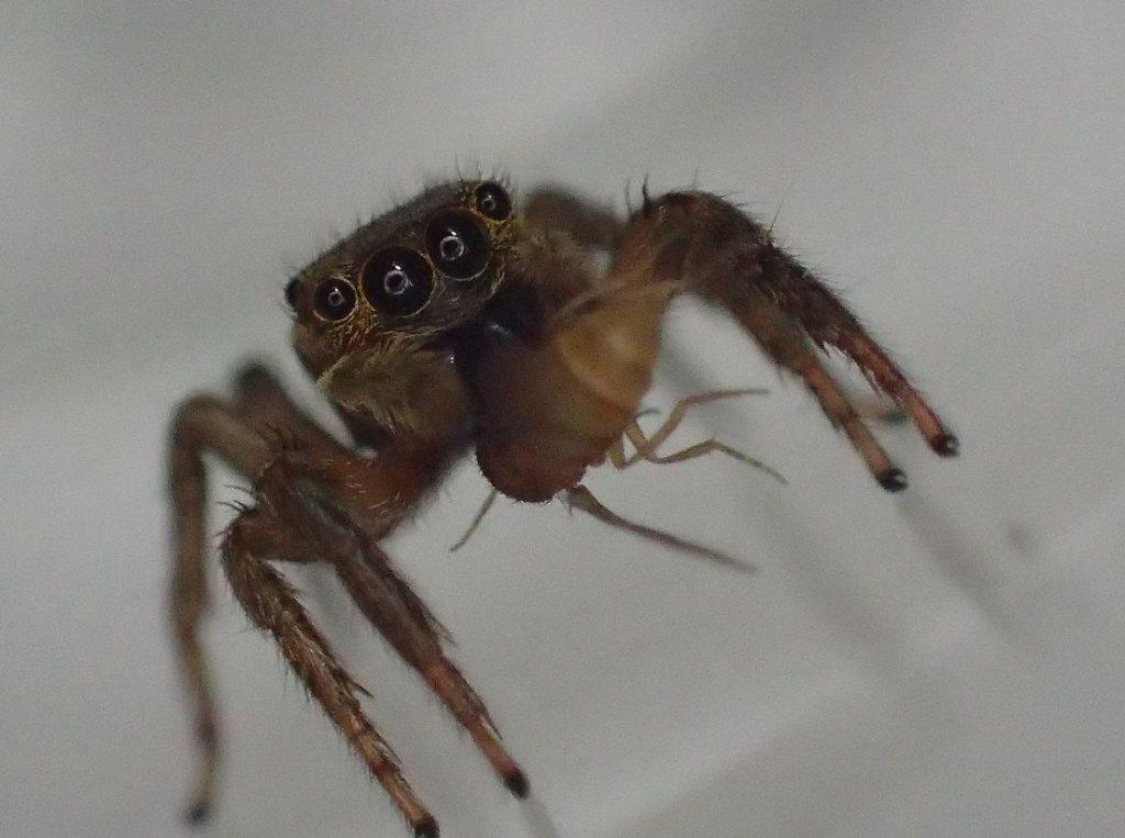 (コバエ)ショウジョウバエを捕まえたハエトリグモの写真