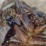 狩りの名手ハエトリグモが一回り大きなゴキブリを狩る!アシダカグモに匹敵する益虫は、害虫が最も恐れる天敵だ!
