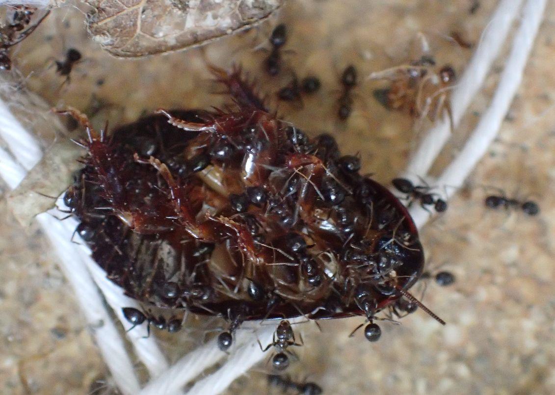 1時間後、ハエトリグモが去ったゴキブリはアリの餌場と化していた