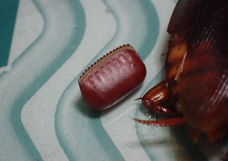 粘着シートの上に産み落とされたゴキブリの卵