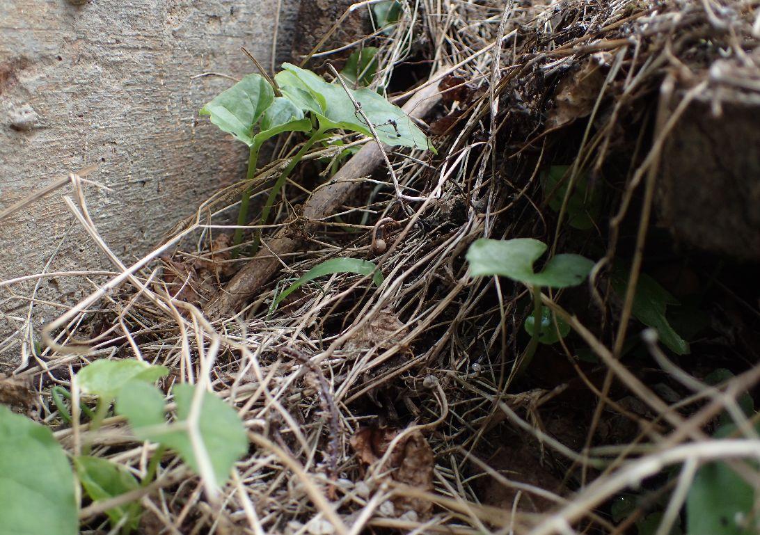 ゴキブリの卵は落ち葉・枯れ葉が積み重なった中の隙間・空間でよく目撃する