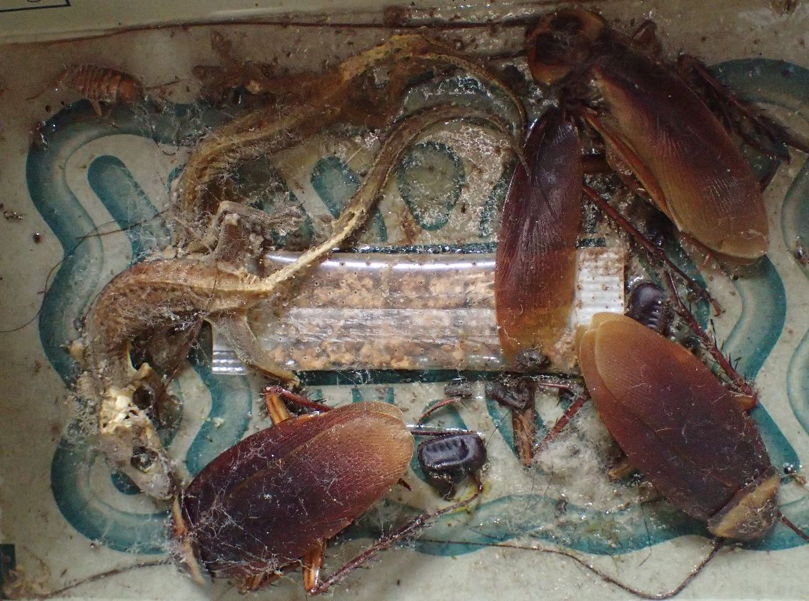 """ヤモリの死骸がミイラ化するほどの長期間(約3年)放置された""""ごきぶりホイホイ"""""""