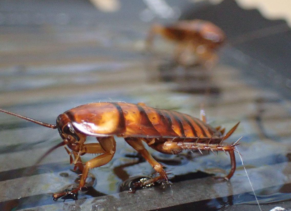 まだ羽が生えていない幼齢のワモンゴキブリ2匹が罠に掛かっていた!