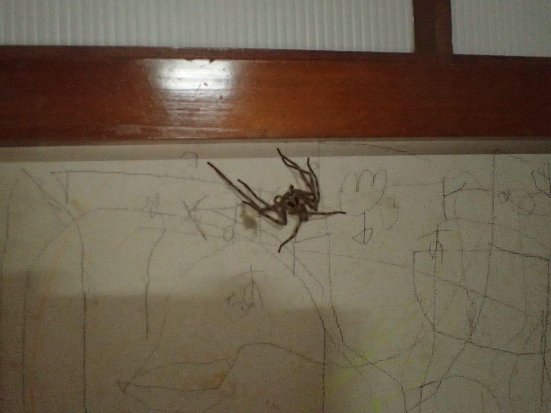 真夜中、台所を徘徊していたアシダカグモを発見!