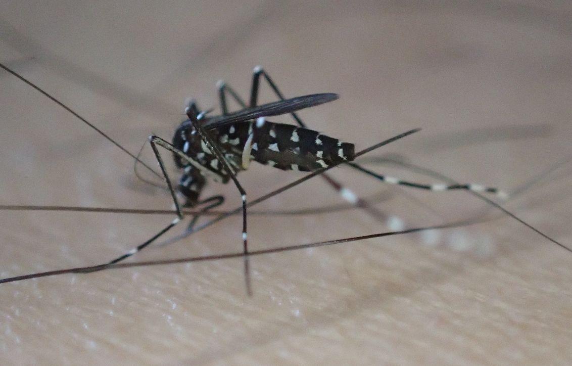 足から血を吸う蚊(※害虫ヒトスジシマカ)