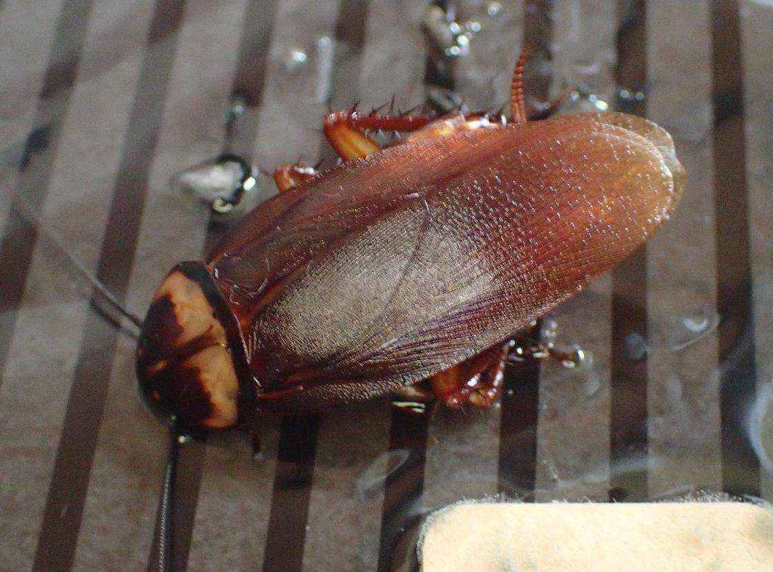 成虫のワモンゴキブリ