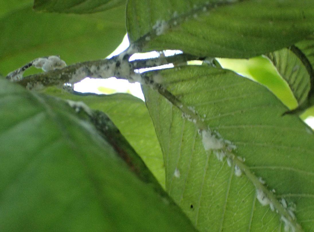 葉の裏、枝にビッシリ密集した白いカイガラムシ