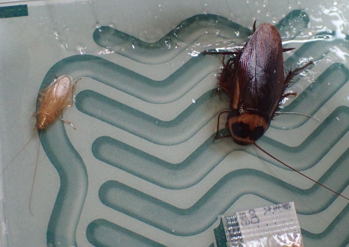 チャバネゴキブリとワモンゴキブリが2匹、罠に掛かっていた