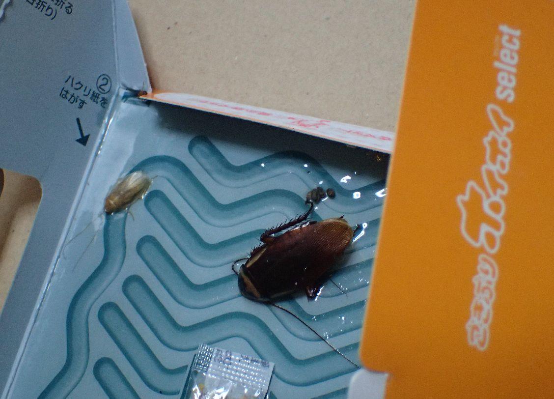 粘着シートの罠に引っ掛かった状態で糞を撒き散らし息絶えたワモンゴキブリ