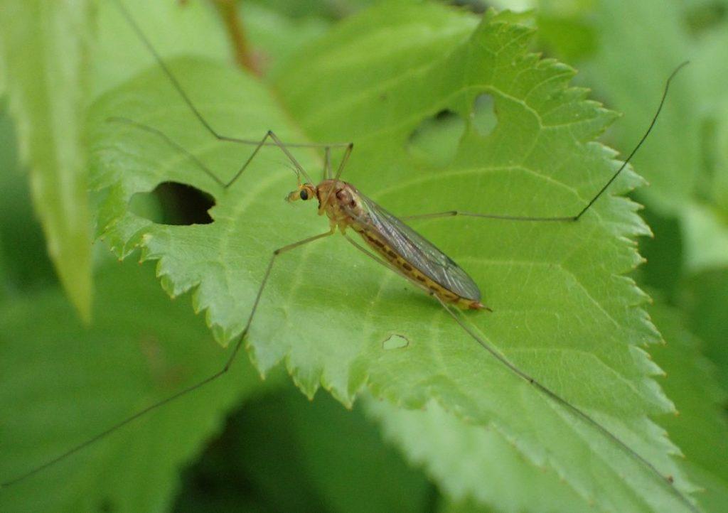 大きな蚊(ガガンボ)