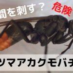 お尻がオレンジ色で体が黒いハチ(蜂)の名前はツマアカクモバチ!その正体はゴキブリの天敵アシダカグモを捕食する狩りの名人!