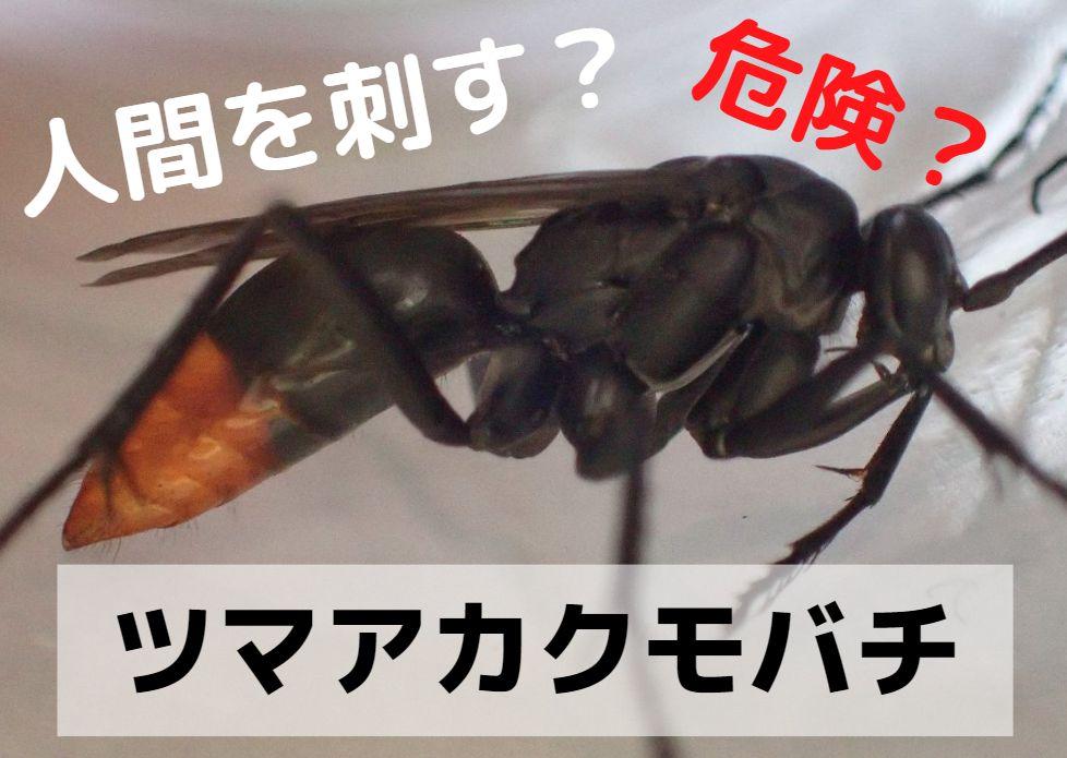 クモバチ科のツマアカクモバチ
