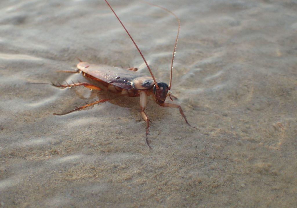 海風を受けてジッと動かないゴキブリ