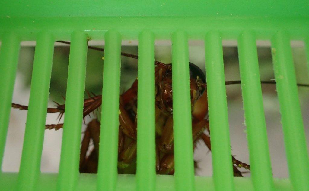 隙間からジッと睨みつけているように見えるゴキブリ