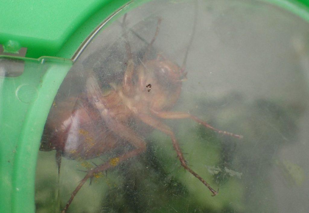 ハーブの葉を敷いた環境でも元気なゴキブリ