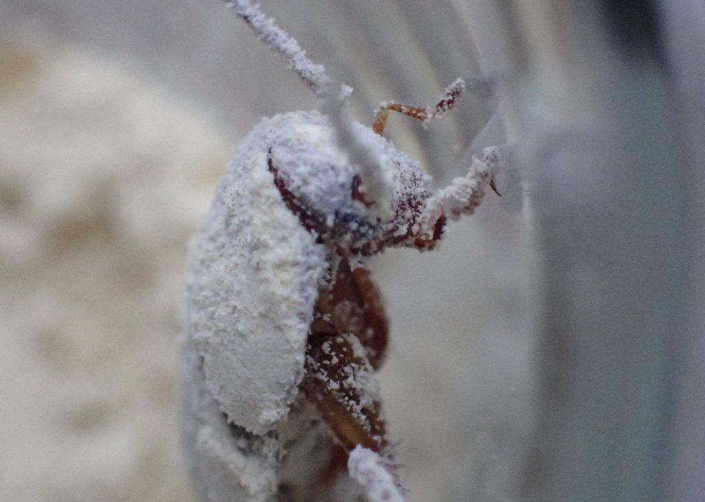 粉末わさびだらけになったゴキブリ