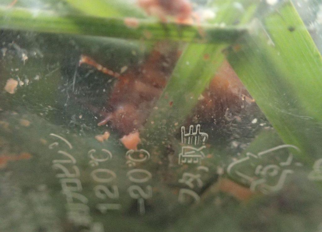 ハーブの葉を行き来して粉末わさびが落ちたゴキブリ