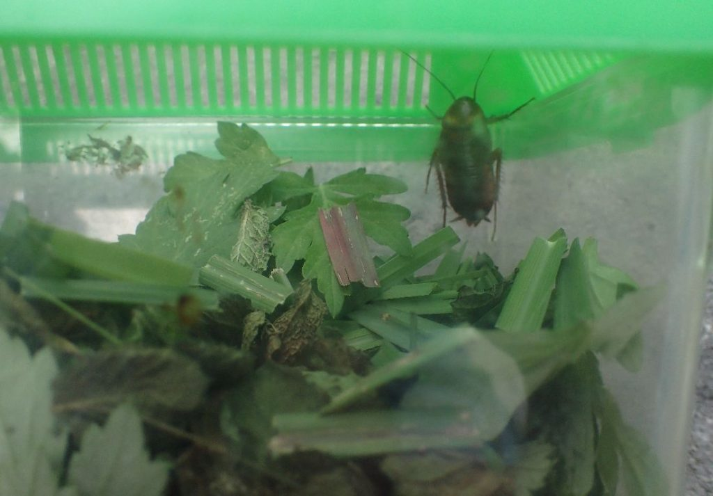 ハーブを敷き詰めた空間でも平気なゴキブリ