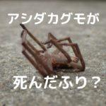 """蜘蛛(クモ)って""""死んだふり""""するの?ゴキブリの天敵、アシダカグモが突然ひっくり返って足をピクピクさせる行動は擬死(ぎし)かもしれない"""