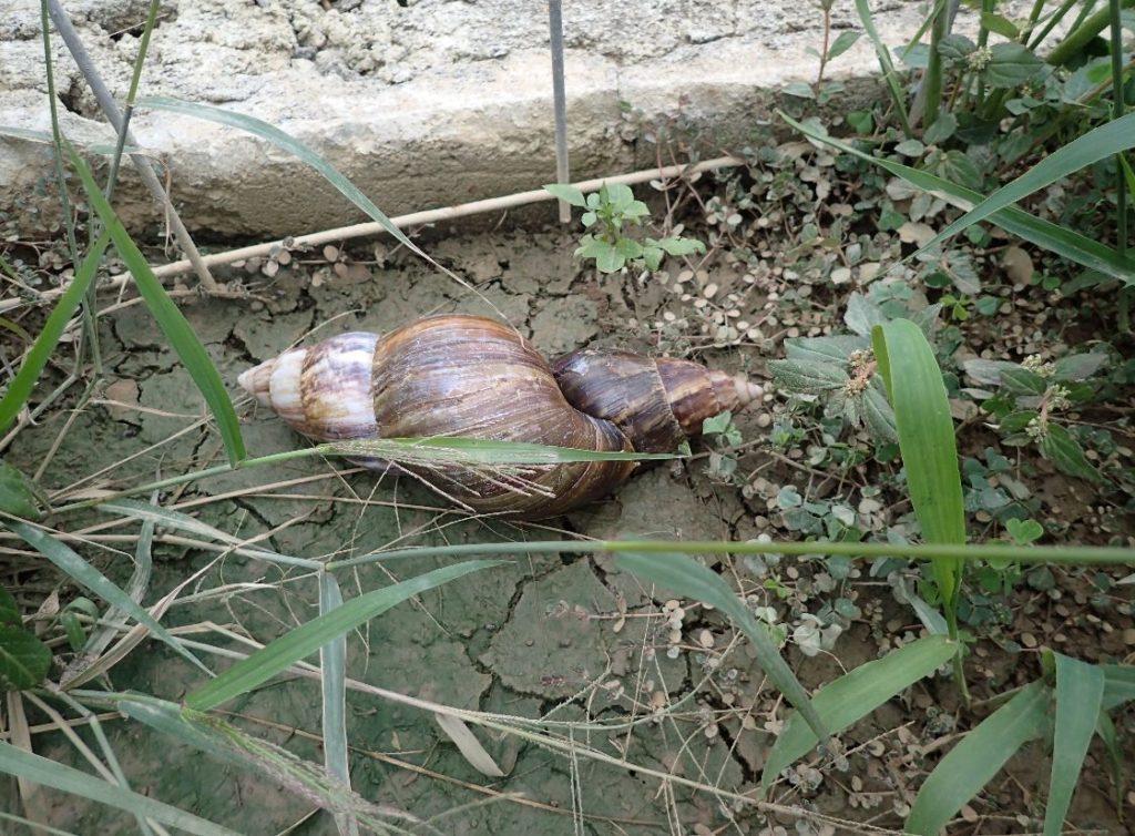 梅雨の時期、2つの貝殻が合体した場面に遭遇した
