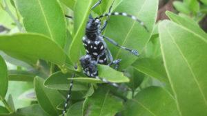 交尾中のゴマダラカミキリは農家の天敵!確実な殺虫剤はないから捕殺して駆除だ!